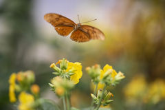 Beautiful Julia butterfly lepidoptra nymphalidae butterfly on ye Stock Photography