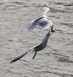 Beautiful jump of the gull for the food Royalty Free Stock Photography