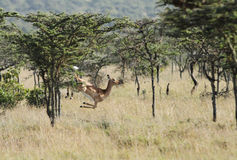 A beautiful jumping Impala Royalty Free Stock Image