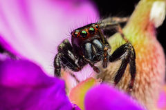 Beautiful jumping spider on flower Stock Image