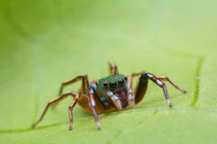 Beautiful jumping spider Royalty Free Stock Photography