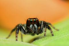 Beautiful jumping spider Stock Image