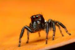 Beautiful jumping spider Royalty Free Stock Photos