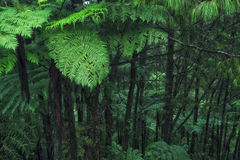 Beautiful Jungle with Tree Ferns Royalty Free Stock Images