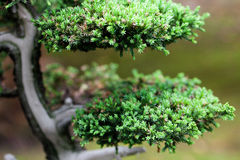 Juniper bonsai  in a botanical garden Royalty Free Stock Images