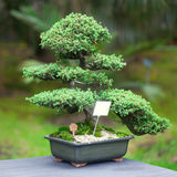 Beautiful juniper bonsai Stock Photos