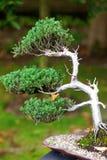 Beautiful juniper bonsai Stock Images