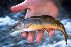 A Beautiful Juvenile Brook Trout. A small juvenile brook trout getting ready to be released back into the stream royalty free stock image