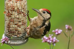 A beautiful juvenile Great spotted Woodpecker Dendrocopos major feeding from a peanut feeder. A pretty juvenile Great spotted Woodpecker Dendrocopos major royalty free stock image