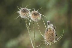 Beautiful juvenile Siskin bird Spinus Spinus on teasels in fores. Beautiful juvenile Siskin bird Spinus Spinus on teasels in woodland landscape setting Stock Photo