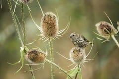 Beautiful juvenile Siskin bird Spinus Spinus on teasels in fores. Beautiful juvenile Siskin bird Spinus Spinus on teasels in woodland landscape setting Royalty Free Stock Image