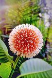 Beautiful Kadam Flowoer. Bangladeshi another most beautiful flower.  Locally  its called kadam ful. But different countries knows it different names. Bur is Stock Image