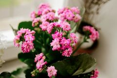 Beautiful Kalanchoe home plant with lovely pink flowers on the w royalty free stock images