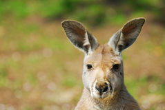 Beautiful kangaroo Stock Photography