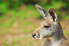 Beautiful kangaroo Stock Image