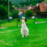 Beautiful kangaroo on the farm in Alsace Royalty Free Stock Photos