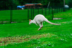 Beautiful kangaroo on the farm in Alsace Stock Image