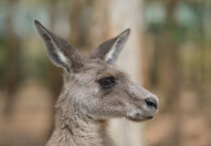 Side view of a kangaroos face Royalty Free Stock Photos
