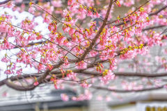 Beautiful Kawazu cherry blooming, the first blooming in Japan Stock Photography