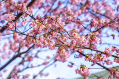 Beautiful Kawazu cherry blooming, the first blooming in Japan Royalty Free Stock Images