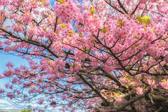 Beautiful Kawazu cherry blooming, the first blooming in Japan Royalty Free Stock Image