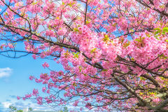 Beautiful Kawazu cherry blooming, the first blooming in Japan Royalty Free Stock Photo