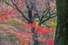 Maple leaves on the trees are turning to red Royalty Free Stock Images