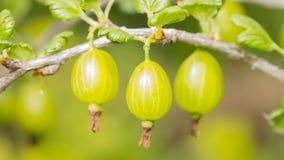 Beautiful keeping up gooseberries Royalty Free Stock Photos