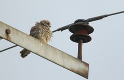 A beautiful Kestrel Falco tinnunculus perched on a electricity pylon in the UK. A prettyl Kestrel Falco tinnunculus perched on a electricity pylon in the UK royalty free stock photography