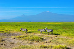 Beautiful Kilimanjaro mountain and zebras, Kenya Royalty Free Stock Photo