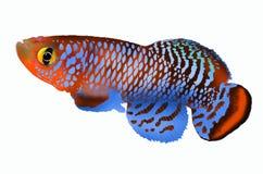 Beautiful killing fish. On white background Royalty Free Stock Photo
