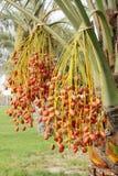 Beautiful kimri date clusters Stock Photos