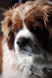 Beautiful King Charles Cavalier. Looking to the side royalty free stock images