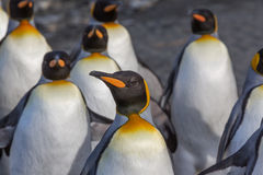 Beautiful King penguin surrounded by flock Royalty Free Stock Photography