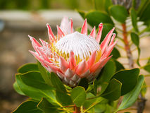 Beautiful king protea flower Stock Photo