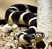 Beautiful King Snake Royalty Free Stock Photo
