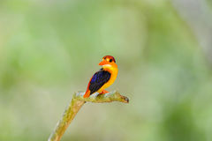 Beautiful of Kingfisher Bird Stock Image