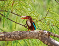 A beautiful kingfisher Royalty Free Stock Photos