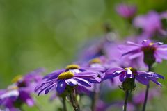 Beautiful kingfisher daisies forming a path, close-up photo stock photography