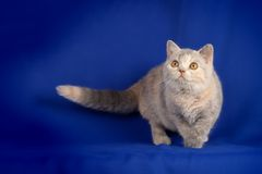 Beautiful kitten Royalty Free Stock Photography