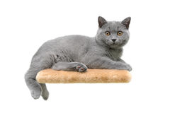 Beautiful kitten ((breed Scottish Straight) on white background Stock Photos