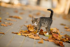 The beautiful kitten plays with fallen leaves. Stock Photography