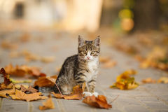 The beautiful kitten plays with fallen leaves. Royalty Free Stock Photo