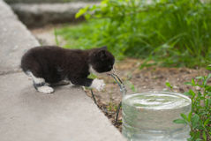 Beautiful kitten reaches for water container Stock Photography