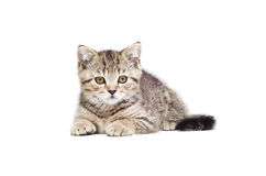 Beautiful  kitten Scottish Straight Royalty Free Stock Photo