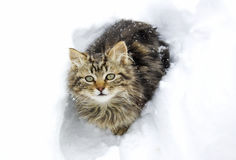 Beautiful kitten in the snow Royalty Free Stock Image