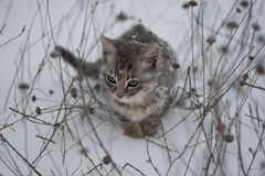 Beautiful kitten in the snow and dry grass Royalty Free Stock Images