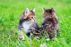 Beautiful kittens plays in a green grass Stock Photo