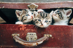 Beautiful kittens in suitcase Royalty Free Stock Image