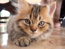 Beautiful kitty cat. Portrait of beautiful kitty cat royalty free stock photography